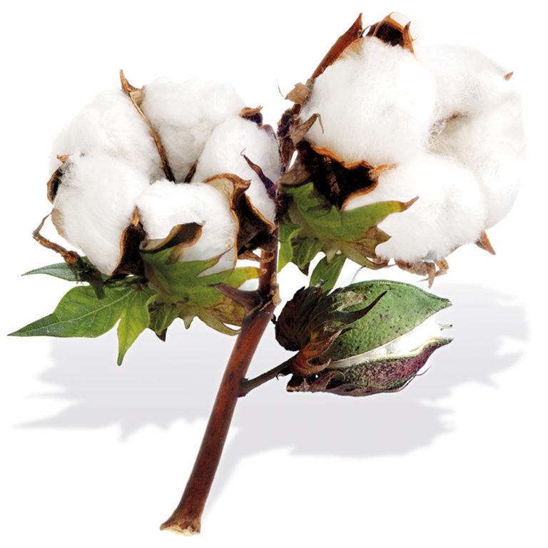Campagne cotonnière 2019-2020: Objectif un million de tonnes de coton graine pour les producteurs.