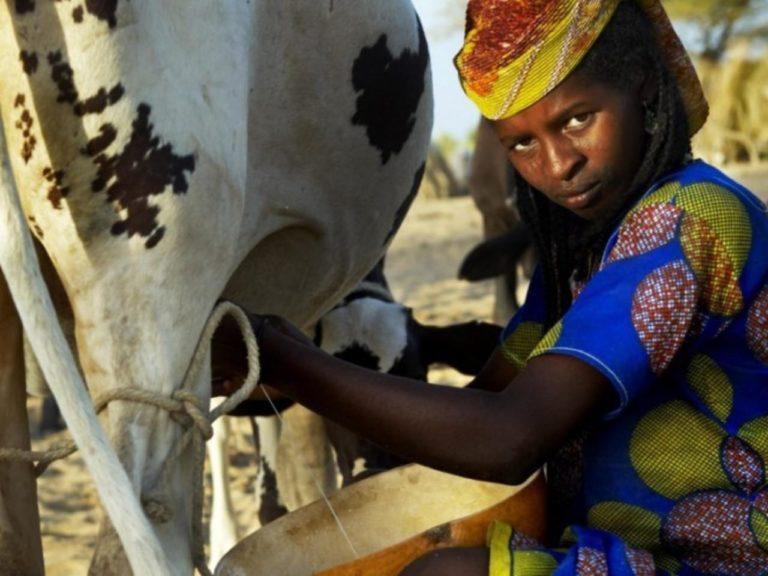 Offensive lait dans les pays du sahel: «Campagne mon Lait est local» pour la valorisation du lait local